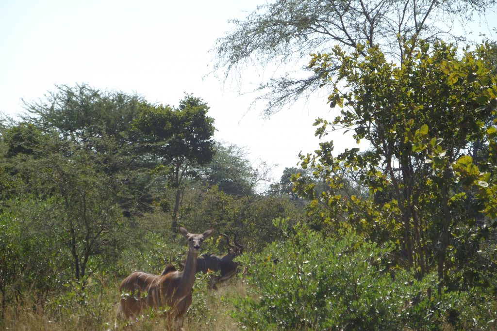 The Pickering Chronicles #12 - Who do Kudu? 2